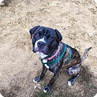 Mastiff/Boxer Mix Dog for adoption in New York, New York - Shadow