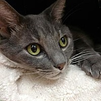 Adopt A Pet :: Pudgy the Cat * - Miami, FL