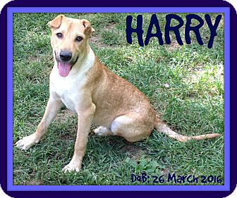 Labrador Retriever/Terrier (Unknown Type, Medium) Mix Dog for adoption in Allentown, Pennsylvania - HARRY
