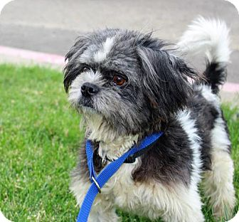 Shih Tzu Mix Dog for adoption in Modesto, California - Oscar