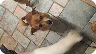 Shiba Inu Mix Dog for adoption in Columbus, Ohio - Mr Big