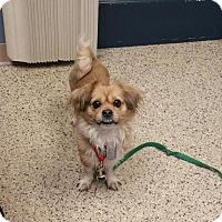 Tibetan Spaniel Mix Dog for adoption in Scituate, Massachusetts - Jingle