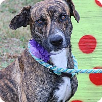 Adopt A Pet :: Hazel - Pluckemin, NJ