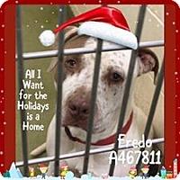 Adopt A Pet :: URGENT IN MORENO VALLEY! FREDO - San Bernardino, CA