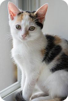 Calico Kitten for adoption in Myrtle Beach, South Carolina - Callie