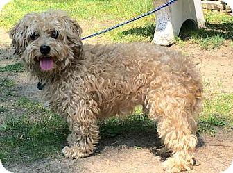Coton de Tulear Dog for adoption in Calverton, New York - Hunter