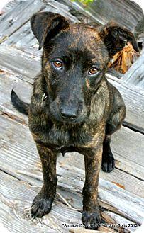Annabell - Miss Gorgeous   Adopted Puppy   Metairie, LA   Plott Hound ...