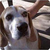 Adopt A Pet :: Boomhauer - Phoenix, AZ