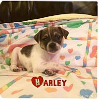 Adopt A Pet :: Harley - Brea, CA