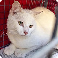 Adopt A Pet :: Khaleesi, Super Sweet and Snowy White - Brooklyn, NY