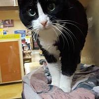 Domestic Shorthair Cat for adoption in Okotoks, Alberta - Little Girl