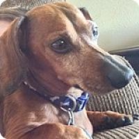 Adopt A Pet :: Hershey Habanero - Houston, TX