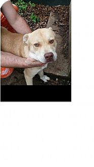 Shar Pei/Labrador Retriever Mix Dog for adoption in Von Ormy, Texas - Jinx
