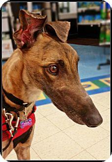 Greyhound Dog for adoption in Geneva, Ohio - Wilson