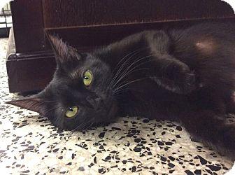 Domestic Shorthair Cat for adoption in Cranston, Rhode Island - Little Miss Sunshine