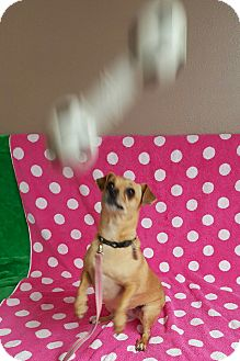 Chihuahua Mix Dog for adoption in Yucaipa, California - Chica