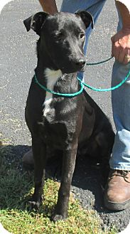 Labrador Retriever/Pointer Mix Dog for adoption in Reeds Spring, Missouri - Jerry
