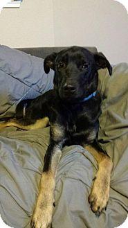 Shepherd (Unknown Type) Mix Dog for adoption in Olympia, Washington - Rhett