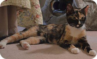 Calico Cat for adoption in Horsham, Pennsylvania - Meadow - Adoption Pending