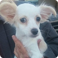 Chihuahua/Yorkie, Yorkshire Terrier Mix Puppy for adoption in St. Louis Park, Minnesota - Astrid