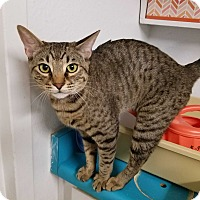 Domestic Shorthair Cat for adoption in Phoenix, Arizona - SQUINTS