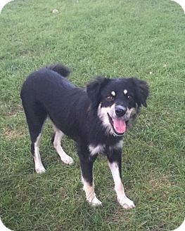 Alaskan Malamute/Collie Mix Dog for adoption in joliet, Illinois - BREE