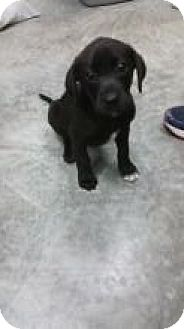 Labrador Retriever Mix Puppy for adoption in Paducah, Kentucky - Mila