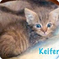 Domestic Shorthair Kitten for adoption in York, Pennsylvania - Keifer (Bottle Baby)