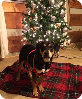 Rottweiler Mix Puppy for adoption in East Dover, Vermont - Garcia