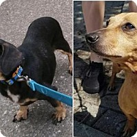 Dachshund Dog for adoption in Rootstown, Ohio - Fritz & Heidi - HELP - Forever Foster Needed