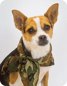 Pug/Beagle Mix Dog for adoption in Phelan, California - Buster