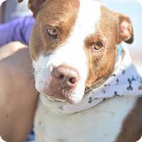 American Pit Bull Terrier/Cattle Dog Mix Dog for adoption in White Settlement, Texas - Buck