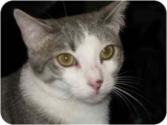 Domestic Shorthair Cat for adoption in Manalapan, New Jersey - Cory