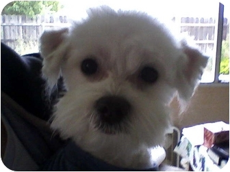 Maltese Dog for adoption in Rancho Cordova, California - Jasper
