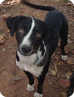 Border Collie Mix Dog for adoption in Cary, North Carolina - Journey