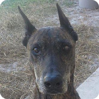 Doberman Pinscher Mix Dog for adoption in Gainesville, Florida - Ebony