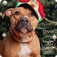 Adopt A Pet :: Dozer - Westfield, NY