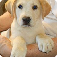 Adopt A Pet :: Lab/Shepherd Mix Pup- Douglas - Midlothian, VA