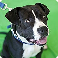Adopt A Pet :: Shanna Punim - Santa Monica, CA