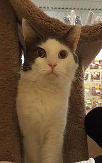 Domestic Mediumhair Cat for adoption in Atlanta, Georgia - Tommy