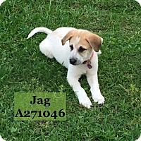 Adopt A Pet :: JAG - Conroe, TX