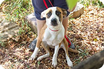 Boxer/Pointer Mix Dog for adoption in Newburgh, Indiana - River