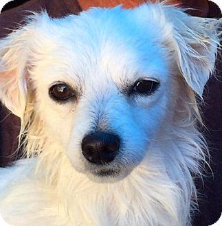 Pomeranian/Husky Mix Dog for adoption in Corona, California - Princess Ethel,  A Puppy.