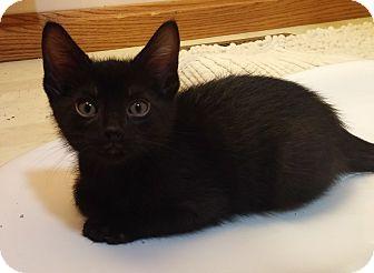 Domestic Shorthair Kitten for adoption in Cleveland, Ohio - Taji