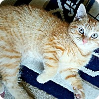 Domestic Shorthair Kitten for adoption in Jeannette, Pennsylvania - Spiderman
