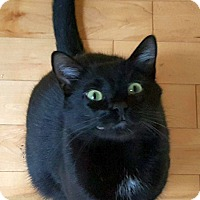 Domestic Shorthair Cat for adoption in Knoxville, Tennessee - Yin