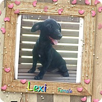 Adopt A Pet :: Lexi-pending adoption - Manchester, CT