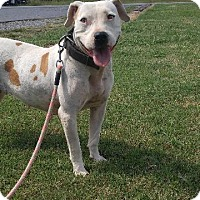 Adopt A Pet :: Annabelle - Shelbyville, TN