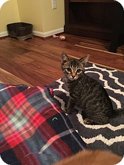 Domestic Shorthair Kitten for adoption in Chesterfield Township, Michigan - Riley