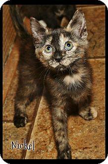Domestic Shorthair Kitten for adoption in Shippenville, Pennsylvania - Nickel